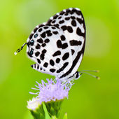 Close up small white butterfly ( Common Pierrot ) — Stock Photo