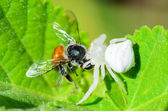 White Crab Spider eating a bee — Stock Photo