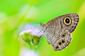 "Close up of a grey-brown butterfly with ""eye"" spots on its wings — Stock Photo"