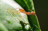 Weaver Ants or Green Ants (Oecophylla smaragdina) — Stock Photo