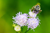 Small bees looking for nectar — Stock Photo