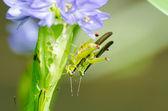 Mating Locust (Oxya japonica) — ストック写真