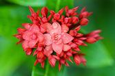 Red flower of West Indian Jasmine ( Ixora chinensis Lamk ) — Stock Photo