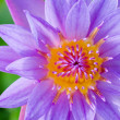 Close up top of Purple Lotus ( Nymphaea Nouchali ) — Stock Photo #43848931
