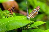 общие сейлор бабочка (пеструшки гилас papaja) — Стоковое фото