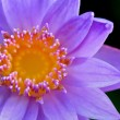 Close up top of Purple Lotus ( Nymphaea Nouchali ) — Stock Photo #43868391