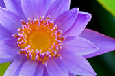 Close up top of Purple Lotus ( Nymphaea Nouchali ) — Stock Photo