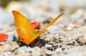 Cruiser butterfly with orange feeding on the ground — Stock Photo