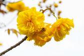 Yellow flowers of Cochlospermum Regium on white background — Stockfoto