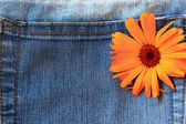 Marigold flower on jeans background — Stock Photo