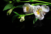 White lilies on a black background — Stock Photo