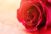 Lovely rose flower — Stock Photo