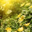Lovely spring yellow flowers — Stock Photo