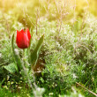 Wild red tulip in steppe at sunset — Stock Photo