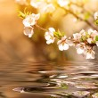 Blooming cherry tree branch over the water — Stock Photo #24727903