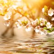 Flowering cherry twig over the water — Stock Photo