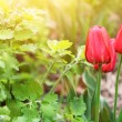 Tender tulips — Stock Photo