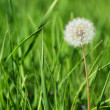 Dandelion among green grass — Stock Photo