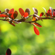 Tree branch with red leaves — Stockfoto