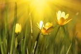 Sunny spring yellow flowers — Stock Photo