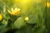 Spring yellow flower. macro shot — Stock Photo