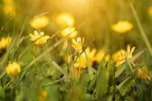 Spring yellow flowers — Stock Photo