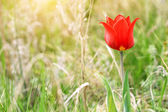 Bozkır içinde güzel vahşi kırmızı lale — Stok fotoğraf