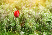 Wild red tulip in steppe at sunset — Stockfoto