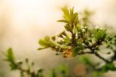 Albaricoquero que florece en la mañana — Foto de Stock