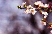 Delicate cherry tree branch — Stock Photo