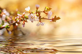 Cherry branch over the water at sunset — Stock Photo