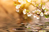 Blooming cherry tree branch over the water — Stock Photo