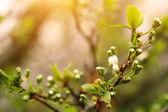 Plum tree branch at sunrise — Stock Photo