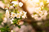 Blooming plum tree branch at sunset — Stock Photo