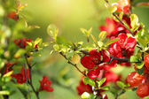 Branches with red flowers — Stock Photo
