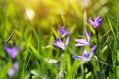 Enchanting blue flowers — Stock Photo