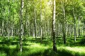 Beautiful birch grove — Stock Photo