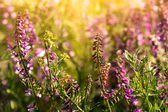 Field of lavender flowers — Stock Photo