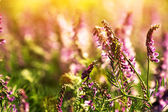 Lavender flowers at sunset — Stock Photo