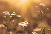 Chamomile flowers at sunset — Stock Photo