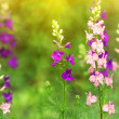 Delphinium flowers at sunset — Stock Photo