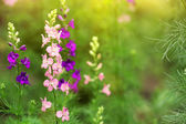 Cute delphinium flowers at sunset — Stock Photo