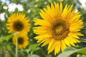 Sunflower in the garden — Stock Photo