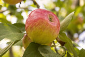 Ripe apple on a tree in the garden — Stock Photo