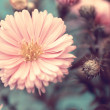 Lovely pink aster close up — Stock Photo #32232019