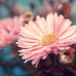 Lovely autumn pink aster close up — Stock Photo #32232051