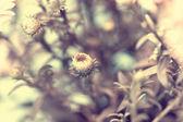Beautiful autumn white aster's bud — Stock Photo