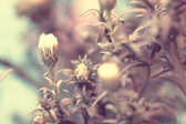 Lovely white aster's buds. macro shot — Stock Photo