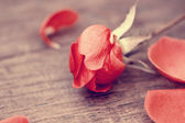 Autumnal red rose close up — Stock Photo