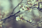 Beautiful apricot tree buds in spring — Stock Photo